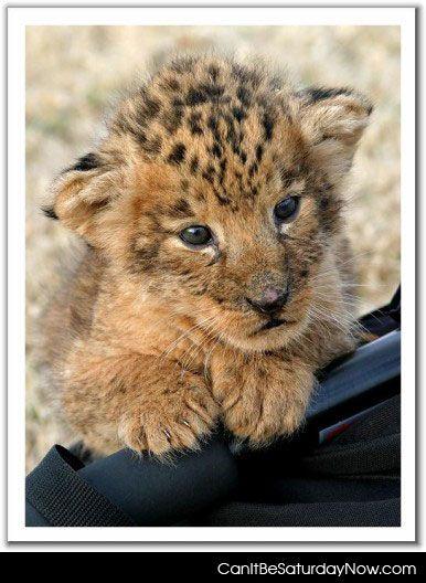 Leopard kitty