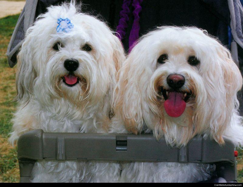 Stroller dogs