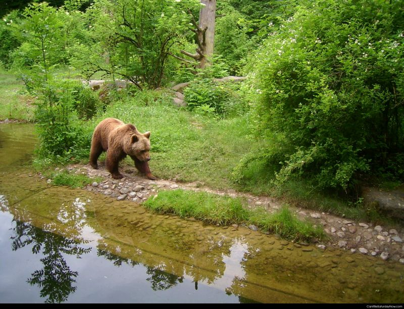 Bear at river