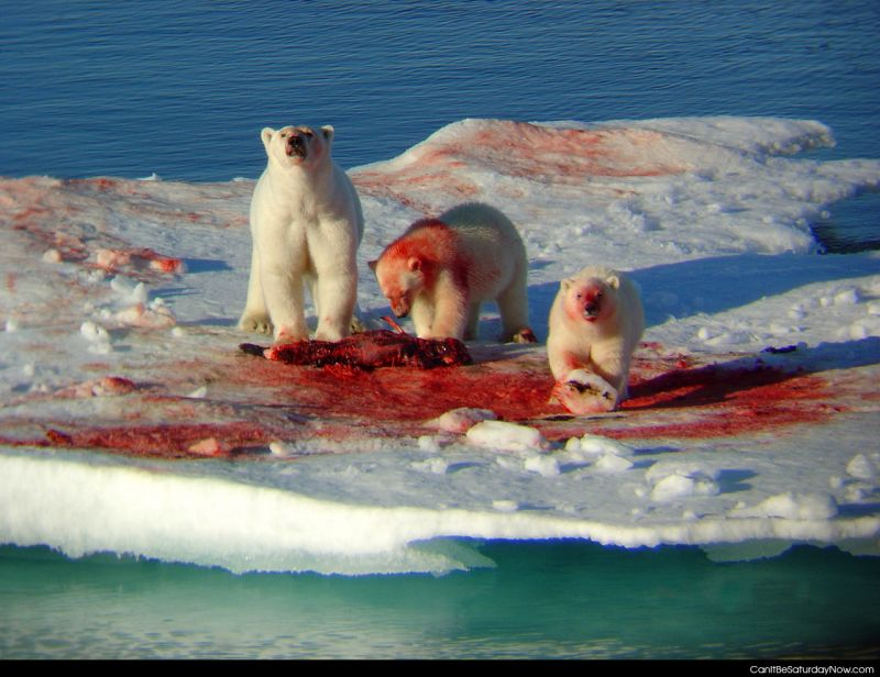 Polar bears eat