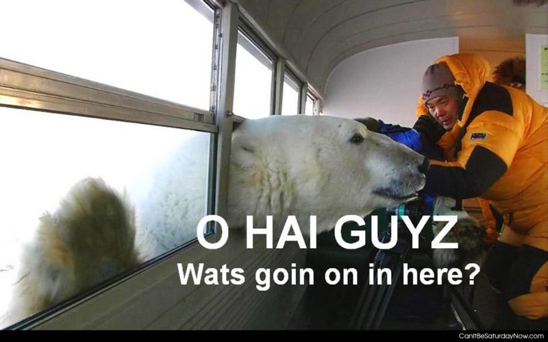 Polar bear hi